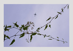 4. Delicate Flower (LouSmith52) Tags: vines colours aeroplane delicate muted