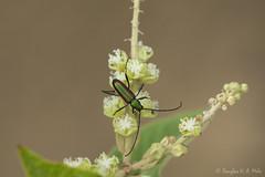 Besouro Cerambycidae (douglashamelo) Tags: insect inseto beetles coleoptera cerambycidae besouro caatinga
