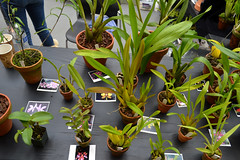 2016-07-23 08774 Orchid Show, SF County Fair Bldg (Dennis Brumm) Tags: sanfrancisco california july 2016 orchids exposition flowers plants bromeliads