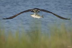 ...Incoming!... (turtlehawk) Tags: 072416 bethany bluecoast cardinal greenheron osprey wildlife woodpecker