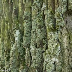 Solid Oak (brookis-photography) Tags: tree oak bark lichen flickrphotowalk macrotextures macromondays murnaugermany