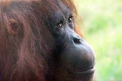 Orang-utan (Pongo pymaeus) (Annette Rumbelow) Tags: beautiful european breeding program orangutan endangered eep tenderness pongo greatape gentlegiants soulfuleyes monkeyworlddorset deepexpression pymaeus annetterumbelowwilson