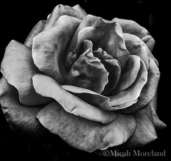 For Ansel (micahmoreland) Tags: light shadow blackandwhite plant flower detail nature monochrome closeup contrast soft sharp petal anseladams
