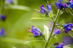 Aliens? (Fernando F. Fernandez) Tags: asturias espaa cangasdeonis europa principadodeasturias nikon naturaleza nature flores flowers airelibre outdoor macro