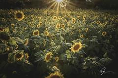 Sunflowers and sunsets (K. Freese) Tags: summer sunset sunshine sunlight nature alabama flowers pikeroad outdoors outdooralabama plants places travel nikon nikonphotography d7100 field colors yellow landscape light scenery montgomeryalabama