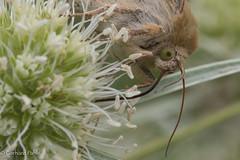 Feld-Mannstreu ist eine beliebte Futterpflanze..., NGIDn1522739203 (naturgucker.de) Tags: ngidn1522739203 naturguckerde kardensonneneule heliothisviriplaca 915119198 92636685 1354578040 cgerhardpahl