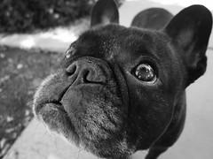 08-14-16 (2485) Bulb Head (Lainey1) Tags: 2485 2485oz 365 theseventhyear 081416 oz ozzy dog frenchie bulldog lainey1 elainedudzinski frogdog zendog ozzythefrenchie frenchbulldog canon canons95 bw monochrome
