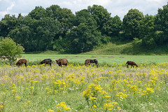 Poitou-Esel - 2016 - 001_Web (berni.radke) Tags: poitouesel baudetdupoitou groseselrasse esel donkey olfen stever steverauen nordrheinwestfalen nrw auenlandschaft meadowycountryside mnsterland