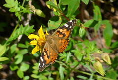 Painted Lady (Wolfram Burner) Tags: plant butterfly nps native echo butterflies insects hike basin lepidoptera wildflowers society leps nativeplant