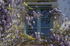 Blue painted window and wisteria plant (yuliakupeli) Tags: old blue green window beautiful vintage antique violet lavender retro wisteria alacati 500px ifttt