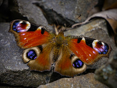 Tagpfauenauge (FotoTrenz NRW) Tags: schmetterling tagpfauenauge butterfly pfauenauge natur insekten tiere outdoor bunt farben colorful augen sommer jahreszeit flgel panasonic lumixg5