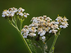 White Flowers (Tk_White) Tags: panasonic lumix gx8 macro 60mm 28 post focus stacking flowers nature bokeh
