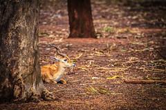 Spiral Horned Antelope (aashayein2010) Tags: deer wildlife zoo reserve forest karnataka india antelope
