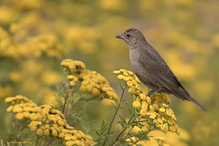 Perched on golden buttons (shimmeringenergy) Tags: brownheadedcowbird vacheràtêtebrune molothrusater boundarybayregionalpark centennialbeach commontansy tanaisiecommune tanacetumvulgare