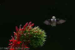 Humming... (dbifulco) Tags: rthu birds cardinalflower flight flowers flying lobelia nature newjersey nikkor300f4pfed red rubythroatedhummingbird wildlife yard