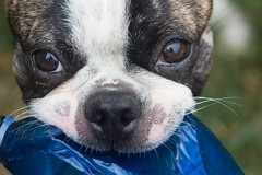 Best Friend (Tarq Photography) Tags: dog boston terrier eyes nose close up face brindle mask white blue bottle