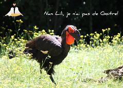Ce Calao terrestre ( mle ) d'Afrique du Sud et moi nous vous souhaitons un agrable mardi. (liliane776.) Tags: calao terrestre