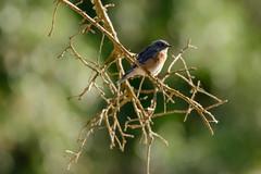Western Bluebird (Chase McMunn) Tags: santamargaritalake westernbluebird