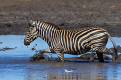 Muddy Waters (leendert3) Tags: burchellszebra ngc sunrays5 npc
