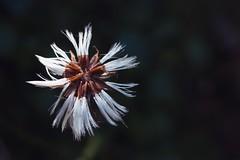 White flower (stefan.bueti) Tags: 2016 achensee maurach tirol