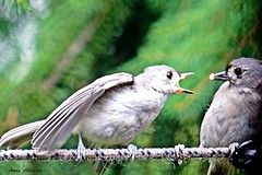 Poor Mom (or Dad) looks scared of their hungry baby. (--Anne--) Tags: titmouse titmice tuftedtitmouse baby feeding babybird nature wildlife bird birds birdphotography