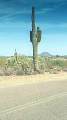 Taliesin West -- Frank Lloyd wright School of Architecture Arizona, USA 2016 Saguaro cactus (Mori Parvin) Tags: moriparvin2016 taliesinwestfranklloydwrightschoolofarchitecturearizonausa2016 arizonausa mori2016