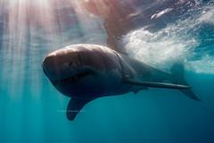 Great White Shark - JRR_7091 (JamesR_307) Tags: great white shark isla guadalupe belle amie nautilus apex predator nikon d810 nauticam ocean underwater pacific