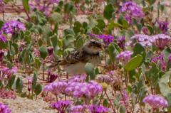 Horned Lark (Fred Hochstaedter) Tags: bolsachica hornedlark orangecounty bird