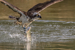 '28' (ToriAndrewsPhotography) Tags: osprey rutland fishing trout photography andrews tori