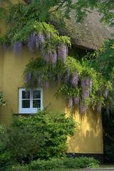 Kenn valley cottage. (Pond Skater) Tags: cottage thatch wisteria kennvalley devon window