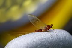 Mayfly om rock (Brant He. Fageraas) Tags: mayfly flyfishingart flyfishing artpic colors canon bokeh macro