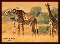 GROUP OF MASAI GIRAFFES (Giraffa camelopardalis tippelskirchii)...MASAI MARA......SEPT 2015 (M Z Malik) Tags: nikon d3x 200400mm14afs kenya africa safari wildlife masaimara kws exoticafricanwildlife ngc