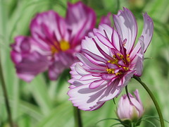 Cosmos couple ... :-) ( Bo ) Tags: cosmos garden yard backyard nature petal macro bokeh focus twosome couple pair two colourful pink gold green white colour maroon wine england britain uk europe european summer2016 august floralphotography flowerbed light shade ngc npc