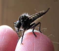 Giant Robber Fly On Tip Of Finger (Lisa Zins) Tags: lisazins tn tennessee insects tennesseeinsects bug fly robber robberfly insecta beekiller assassinfly bee killer assassin promachus diptera hexapoda arthropoda hinei promachushinei canon canonpowershot sx150 summer august 2016 macro asilidae giantrobberfly northamerica predator