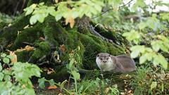 The Otter's Realm (The Wasp Factory) Tags: eurasianotter europeanotter commonotter otter fischotter lutralutra wisentgehegespringe wisentgehege springe tierpark wildpark wildlifepark lowersaxony niedersachsen