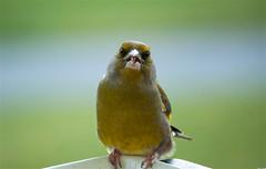 New Zealand Green Finch (bob_katt) Tags: newzealand green finch paraparaumu northisland bird beak feathers canon eos500d outdoor