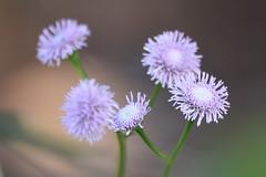 DSC_0162 (Kelson Souza) Tags: flores flor primavera campo silvestre florzinha flowers flower