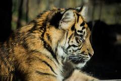 Tiger Cub (Ben Garssen) Tags: holland netherlands dutch zoo cub tiger arnhem nederland burgers netherland tijger gelderland welp
