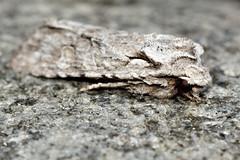 Grey shoulder-knot (Lithophane ornitopus) (73/365) (Ian Redding) Tags: uk nature fauna insect wildlife moth british invertebrate arthropod
