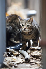 川崎仲見世通 野良猫 (DigiPub) Tags: street eye animal japan vertical closeup cat outdoors photography eyecontact 15 mating 猫 onsale ねこ domesticcat gettyimages humaninterest 川崎 ネコ animalwelfare 野良猫 colorimage strayanimal lookingatcamera animaleye 仲見世通 animalthemes animalbehavior カメラ目線 animalsmating animalbodypart 华盖创意 華蓋創意 m20150604 559442215