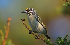 Yellow-fronted Tinkerbird (Pogoniulus chrysoconus) (Ian N. White) Tags: southafrica northwest rustenburg yellowfrontedtinkerbird pogoniuluschrysoconus