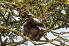 Wild Orangutan (robsall) Tags: travel vacation canon river mammal lodge malaysia borneo orangutan canoneos sabah orang orangutans ecotourism pongopygmaeus orangs ecolodge sukau kinabatanganriver rainforestlodge kinibatangan sukaurainforestlodge canon5dmarkiii 5dmarkiii 5dm3 kotakinabatangan menanggulriver 5dmark3 5dmiii robsall canon5dm3 canoneos5dm3 robsallphotography nationalgeographicuniquelodgesoftheworld
