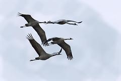 Common cranes  2015-03-21_03 (Jan Thomas Landgren) Tags: bird nature birds animal animals fauna sweden crane wildlife sony natur aves cranes wetlands sverige tamron wetland bif avifauna fåglar fågel hornborgasjön commoncrane västergötland grusgrus tranor trana hornborgalake tamron150600mm sonya77ii sonyilca77m2 sonya77mark2