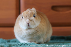 IMG_4005-1 (Rabbit's Album) Tags: pets cute rabbit bunny animals coco    netherlanddwarf  ef50mmf18  canonx7i x7i