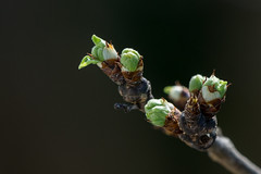 Breakthrough (finor) Tags: sun tree nature sunshine spring sony bud ilce greengage mirrorless a6000 ringlo edelpflaume α6000 ilce6000 prunusdomestic