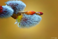 Willow Tips (Tarq Photography) Tags: macro tree closeup branch sony ngc fluffy willow tips bloom alpha blooming