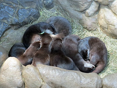 Asian Small Clawed Otters (bookworm1225) Tags: zoo october 2014 minnesotazoo northerntrail tropicstrail