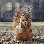Squirrels at the University of Michigan (April 1, 2015) thumbnail