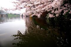 (k_keiko) Tags: cherryblossom sakura