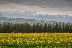 Löwenzahn im Oberland